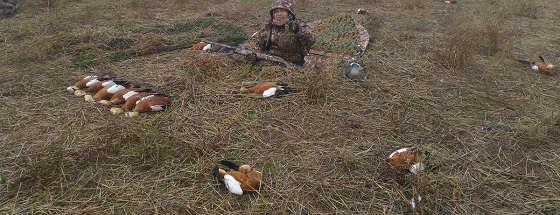 Охота на Огаря в полях