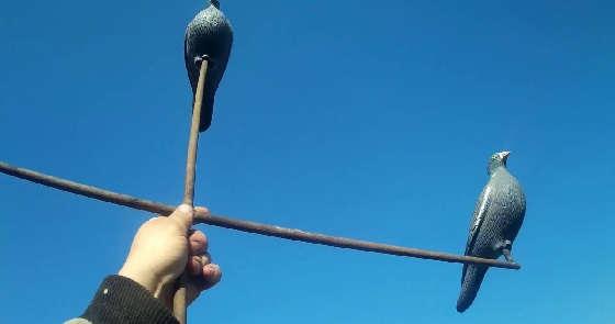 Охота на голубя с чучелами