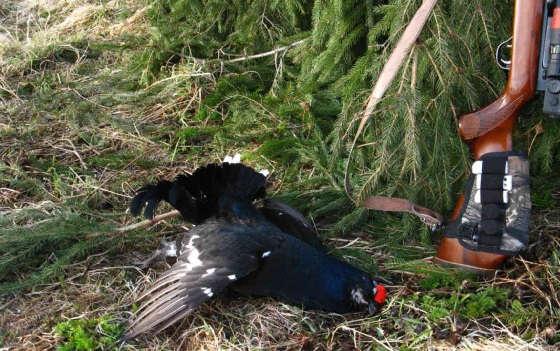Тетерев-косач: Разделка птицы