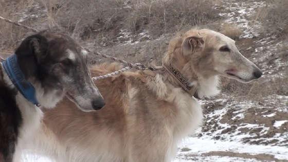 Полевые испытания борзых собак