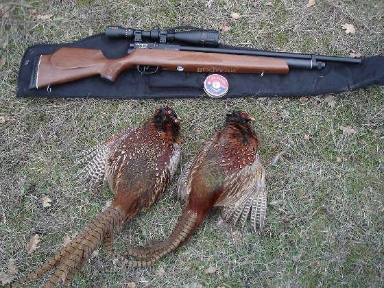 Неделя охоты на фазана с ПСП пневматикой
