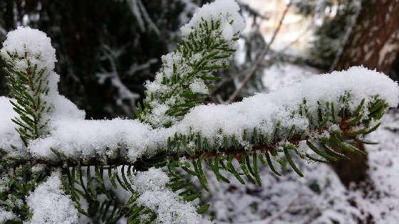 Хвойные деревья и их польза