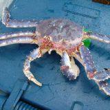 Краб камчатский: промысел в Охотском море