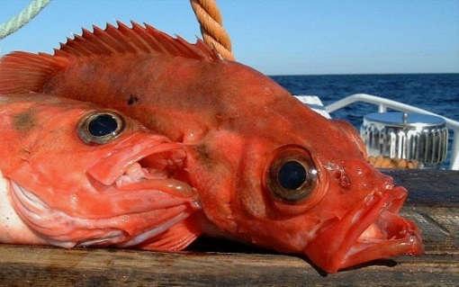 Глубоководная рыбалка на красного окуня