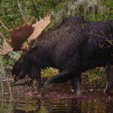 Охота на больших лосей