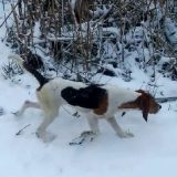 Охота с Эстонской гончей на Зайца