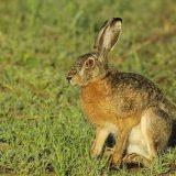Какой дробью добывать зайца-русака?