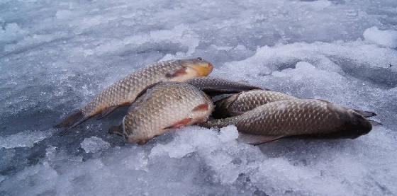 Ловля карасей в оттепель со льда