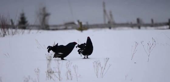 Охота на тетерева зимой с гладким ружьем