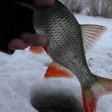 Поиск и ловля плотвы зимой
