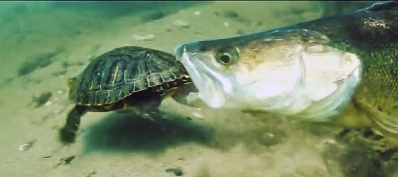 АТАКИ СУДАКОВ на Черепаху