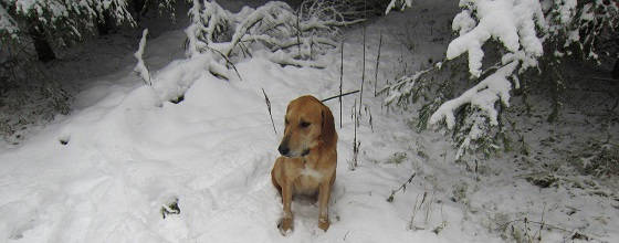 Охота на зайца с гончей по глубокому снегу