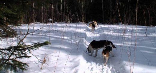 Охота на зайца с гончими: Закрытие сезона