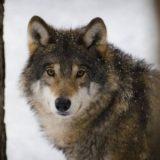 Облавная охота на волков в Псковской области