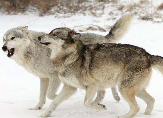 Облавная охота на волков