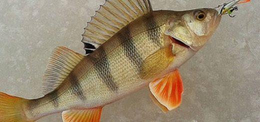 Рыбалка на Песчанке: Окунь на балансир