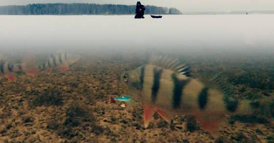 Подводная сьемка реакции окуня на разные приманки