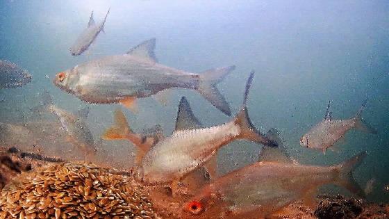 Жареные Семечки Льна или Гаммарус: Реакция рыбы