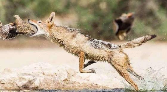 Охота на шакала и лису