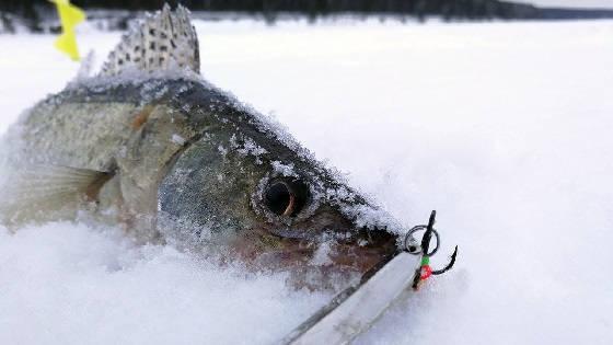 Ловля судака зимой: РАТЛИН, БЛЕСНА, БАЛАНСИР