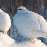 Белая куропатка на снегу