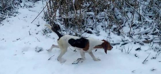Охота в Томской области с эстонскими гончими