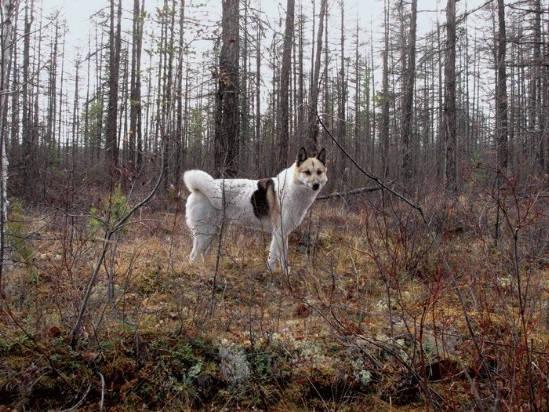 Охотничьи лайки Якутии