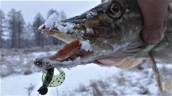 Тактика Ловли Хищника Зимой на Спиннинг