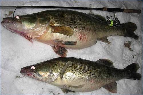 Зимняя рыбалка на спиннинг в Чернобыльской зоне