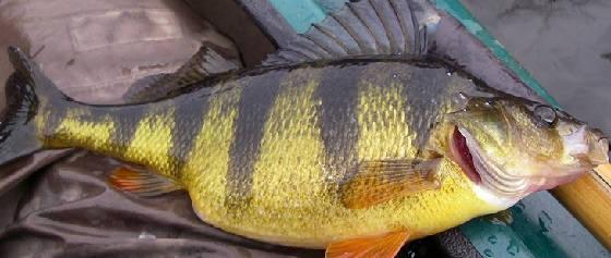 Трофейная рыбалка на ОКУНЯ