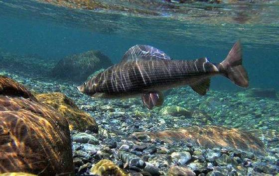 Как ловят рыбу на севере Байкала?