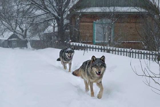 Волки в деревне