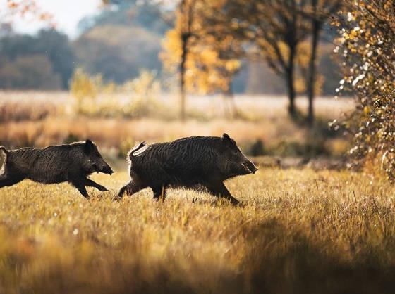 Загонная охота на кабана в Германии