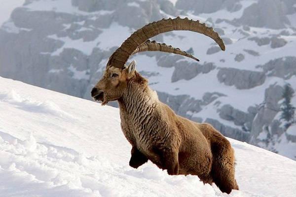 Экстремальная охота на козерога в горах Памира