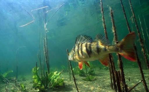 Атака Окуня под водой