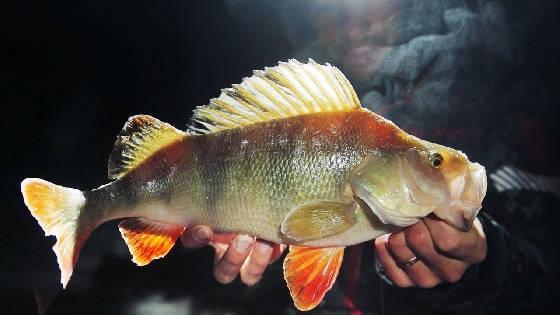 Трофейная рыбалка на ОКУНЯ на зимнем Иртыше