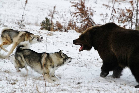 Охота на медведя с лайками с подхода