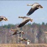 Охота на гуся под Саратовом весной