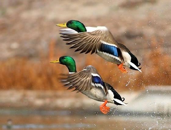 Охота на уток весной 2021