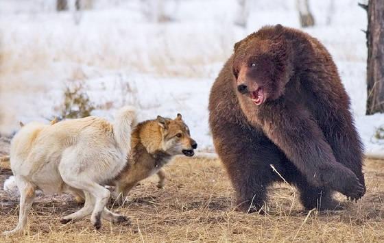 Подготовка собак к охоте на Медведя