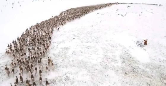 Почему олени кружатся в хороводе