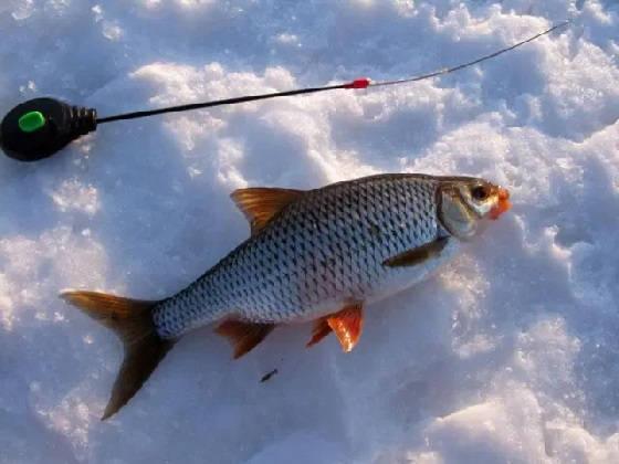 Ловля плотвы в марте со льда