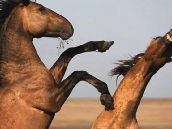 Объездка диких лошадей