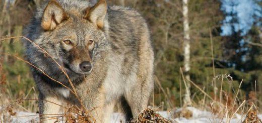 Как правильно ставить петли на волка