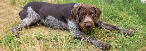 Охотничья собака дратхаар