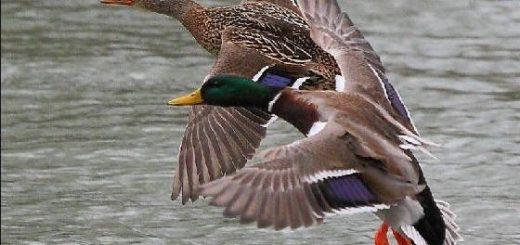 Сроки весенней охоты в Омской области