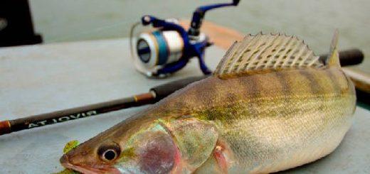 Как найти и поймать судака весной