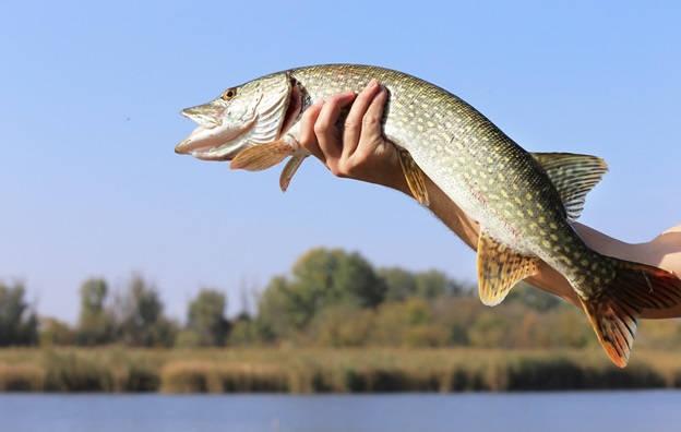 Ловля щуки весной на озере