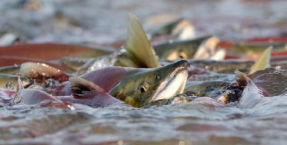Как клюёт рыба в нерест?