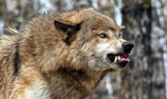 Добыть матерого Волка